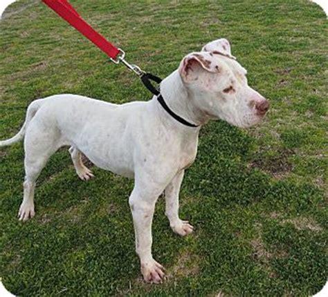 pitbull puppies az joey adopted scottsdale az american pit bull terrier mix