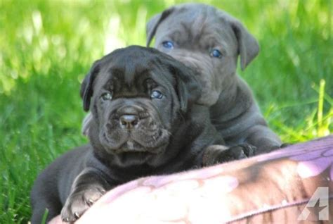 italian mastiff puppies for sale corso italian mastiff puppies for sale in sacramento california classified