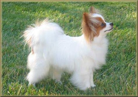 chion yorkies for sale papillon mix chihuahua