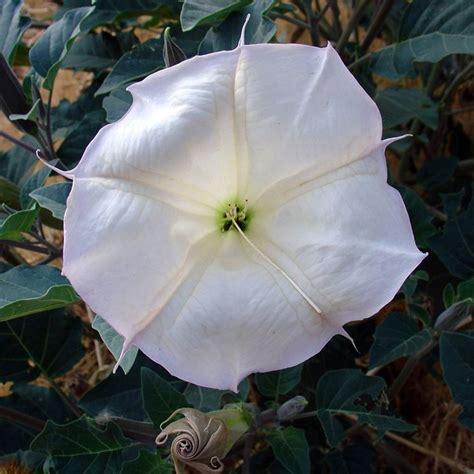 datura fiore datura pianta piante perenni datura caratteristiche pianta