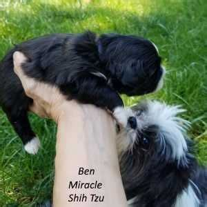 shih tzu puppies for sale ohio 81 best images about shih tzu puppies on 12 days and ken and