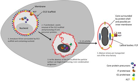 design an experiment using vaccinia virus viruses free full text from crescent to mature virion