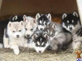 siberian husky puppies for sale in oklahoma 25 best ideas about siberian husky puppies on baby huskies husky