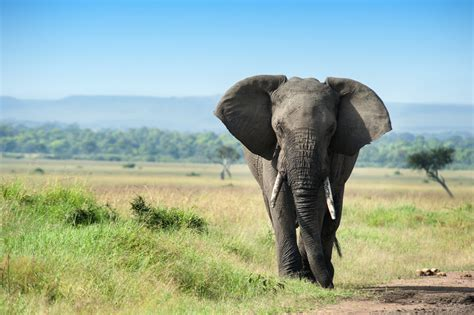 elephant ivory some u s politicians pander to ivory traffickers