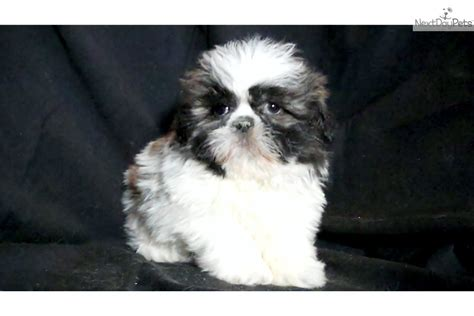 puppy for sale michigan shih tzu puppy for sale near flint michigan f64d2585 3321