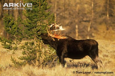 moose shed images frompo