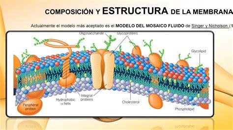 partes de la membrana celular la membrana plasm 193 tica y ppt video online descargar