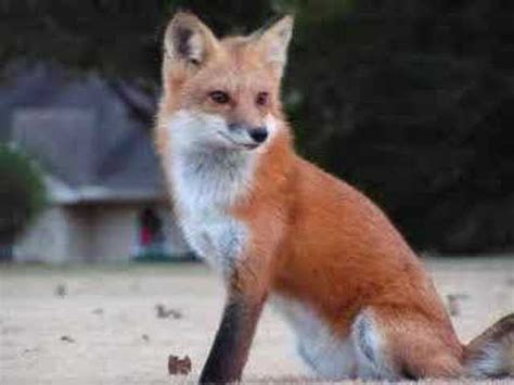 be like the fox fox look like they would make a great pet youtube