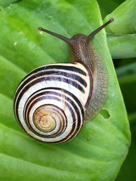 Snail 306 Drago Black White And Black Shell Snail Free Image Peakpx