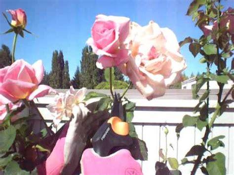 how to deadhead roses youtube