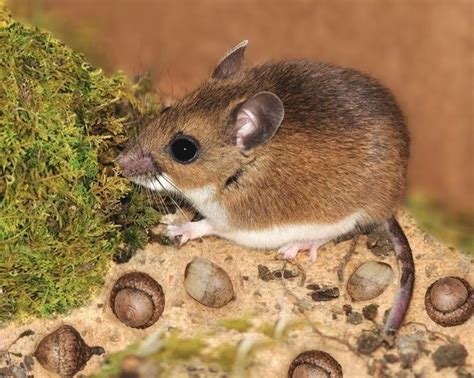 what do mice eat how do they obtain food in the wild quora