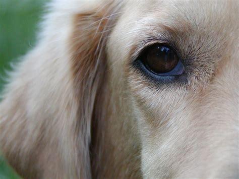 golden retriever saluki mix golden retriever saluki burr by dogs on deviantart