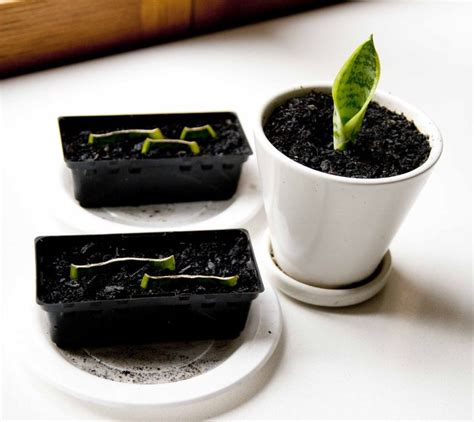 ideas  snake plant  pinterest indoor
