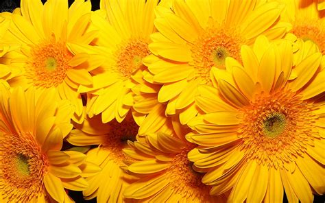 yellow flower wallpaper for walls yellow flowers 14157 1920x1200 px hdwallsource com