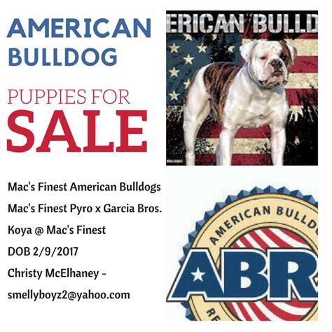 golden retriever puppies fayetteville nc american bulldog for sale fayetteville nc breeds picture