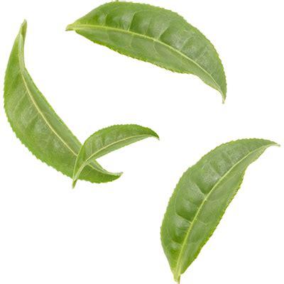 green leaves png image veerendra vijaya pinterest organic cocoa matcha mighty leaf tea