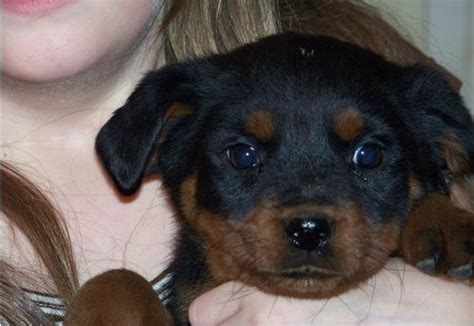 rottweiler puppies for sale sydney rottweiler german chion for adoption for sale adoption from sydney new south wales