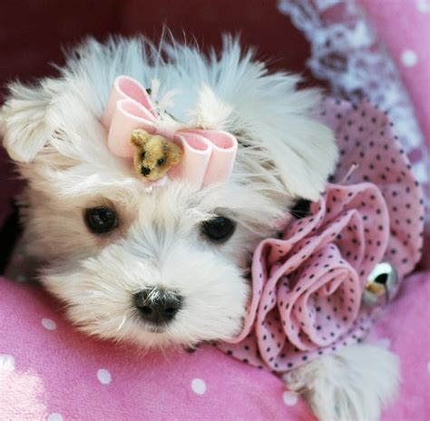 pics of teacup puppies teacup puppies store frequent asked questions