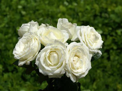 imagenes de rosas blancas bonitas encuentro con milmayos rosas blancas como un poema