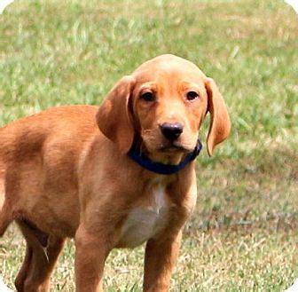 chesapeake bay retriever and golden retriever mix glastonbury ct chesapeake bay retriever labrador retriever mix meet lucca meet me