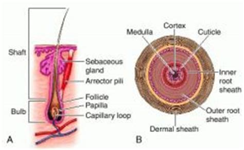 cross section of hair follicle hair follicle unit definition of hair follicle unit by