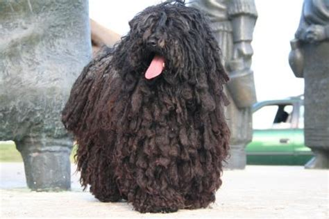 puli puppies for sale for sale hungarian puli puppies for sale hungarian puli