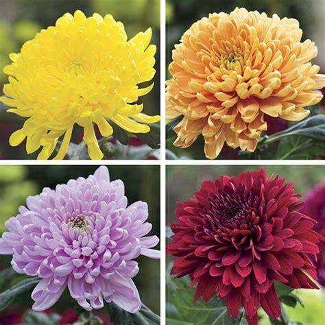 flower bloom chrysanthemum cut flower bloom spray collection woolmans