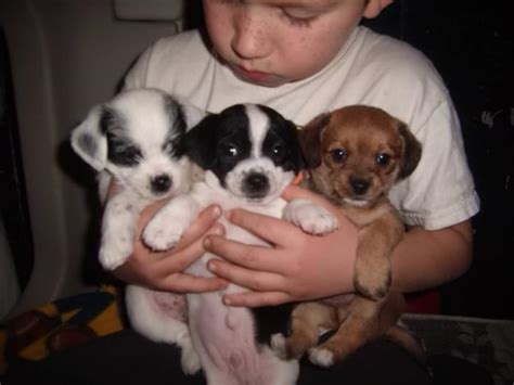 terrier mix puppies rat cha rat terrier x chihuahua mix info temperament puppies pictures