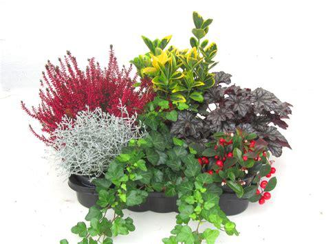 winterharte balkonpflanzen bilder balkonpflanzen set pflanzen versand harro s pflanzenwelt