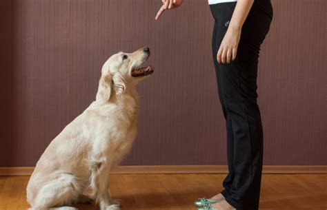 how to your puppy to sit how to teach your to sit pet uk