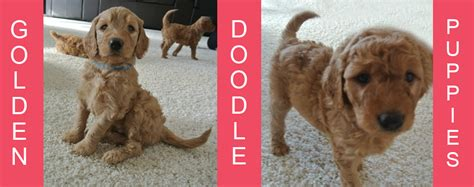 goldendoodle puppies for sale in oregon multi generation goldendoodle puppies for sale
