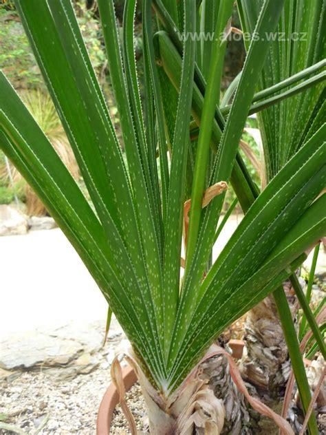 Easy Plants Aloe Cooperi