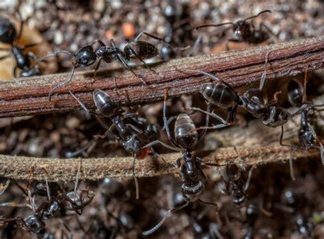 ameisen bekämpfen im garten ameisen im garten bek 228 mpfen kein problem mit der plage