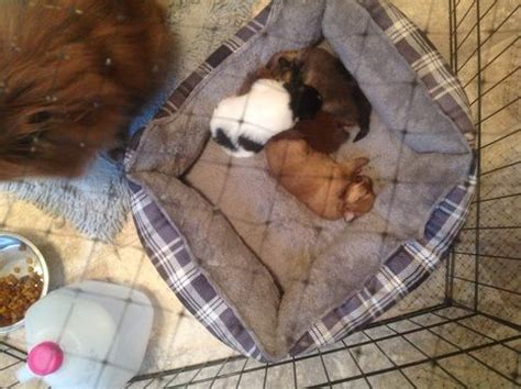 pomeranian puppies for sale in nh 25 best ideas about pomeranian puppies for sale on teacup puppies for