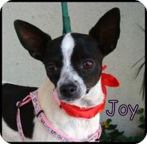 Joy | Adopted Dog | Lomita, CA | Rat Terrier/Chihuahua Mix