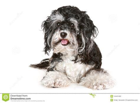 imagenes a blanco y negro de perros perro malt 233 s blanco y negro fotos de archivo imagen
