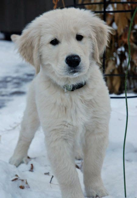 golden retriever puppy white spot on via daily puppy puppy breed golden retriever wilco joined our family on remembrance