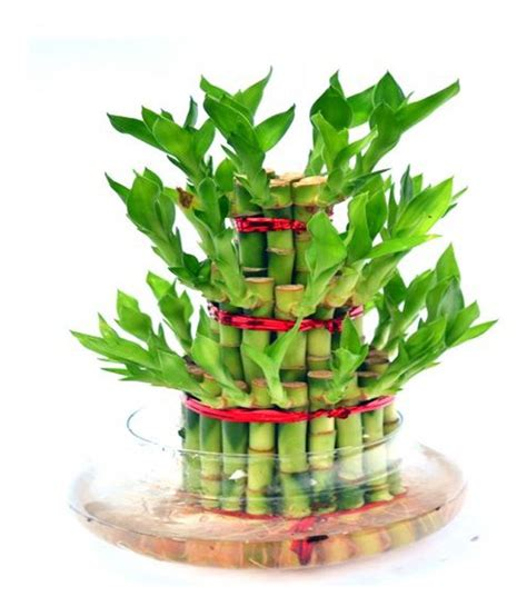 feng shui bamboo plant in bedroom gadgetfreak fengshui 3 layer lucky bamboo plant buy