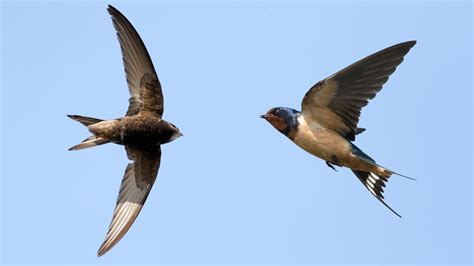 swifts and swallows birds animals eden channel