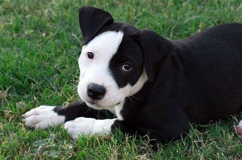 alimentazione bull terrier cucciolo american pitbull terrier carattere allevamento prezzo e