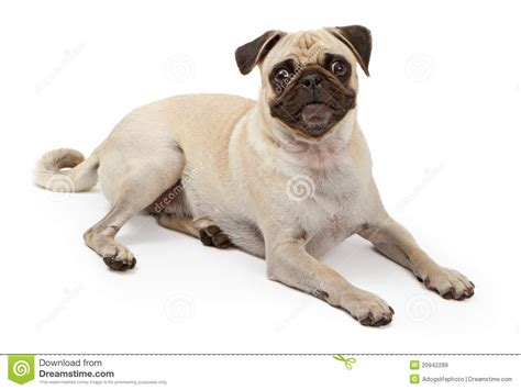 puppy laying pug laying royalty free stock images image 20942289