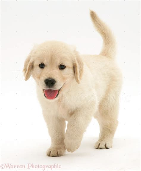 walking puppy 50 most lovely golden retriever puppy pictures and images