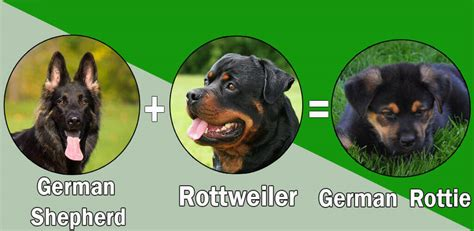 what is the expectancy of a rottweiler top 10 rottweiler cross breeds mix breeds
