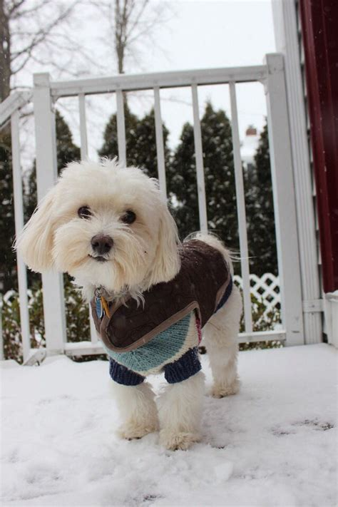 best havanese names 78 best havanese in pictures images on havanese puppies animals and dogs