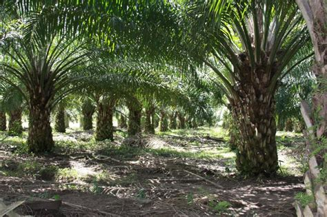 Biaya Pembersihan Lahan Kelapa Sawit Peduli Bumi Perkebunan Kelapa Sawit Di Tanah Sumatera