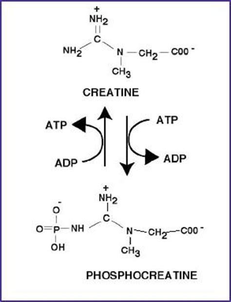 creatine reaction phosphocreatine creatine phosphate