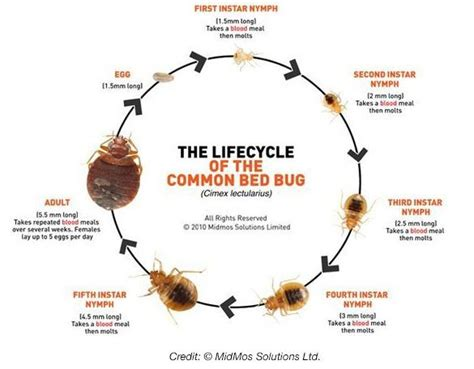 can bed bugs live on you how long can bed bugs live without a meal