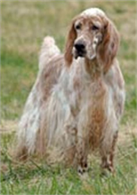 bench setter english setter debs kingdom