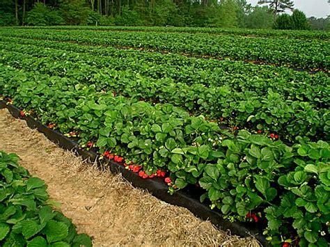Jual Polybag Pot cara menanam strawberry di lahan polybag dan di pot