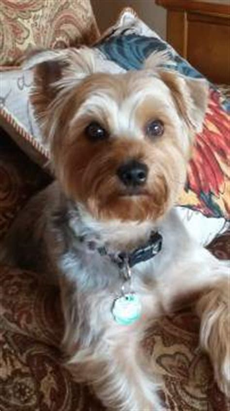 how many times a day should a yorkie eat yorkie separation anxiety conquering abandonment fear